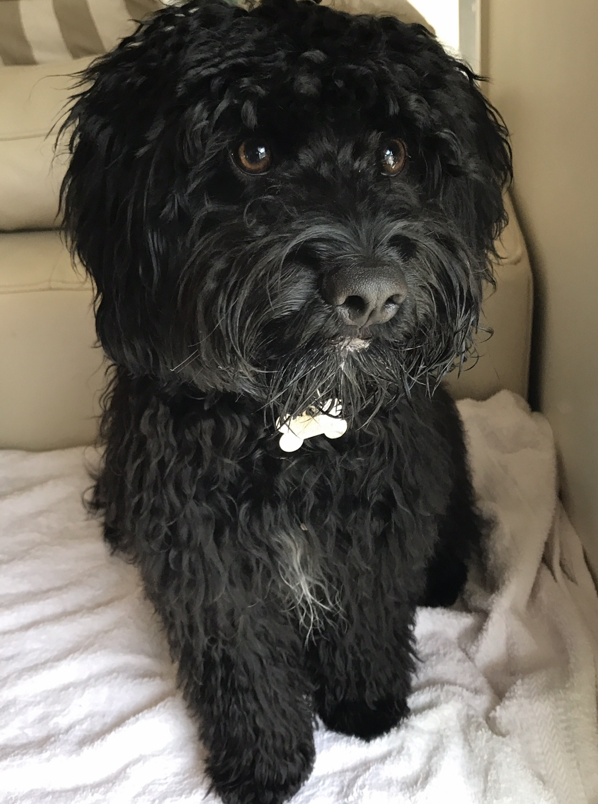 Kuro was one confident Cavoodle and a bundle of fun