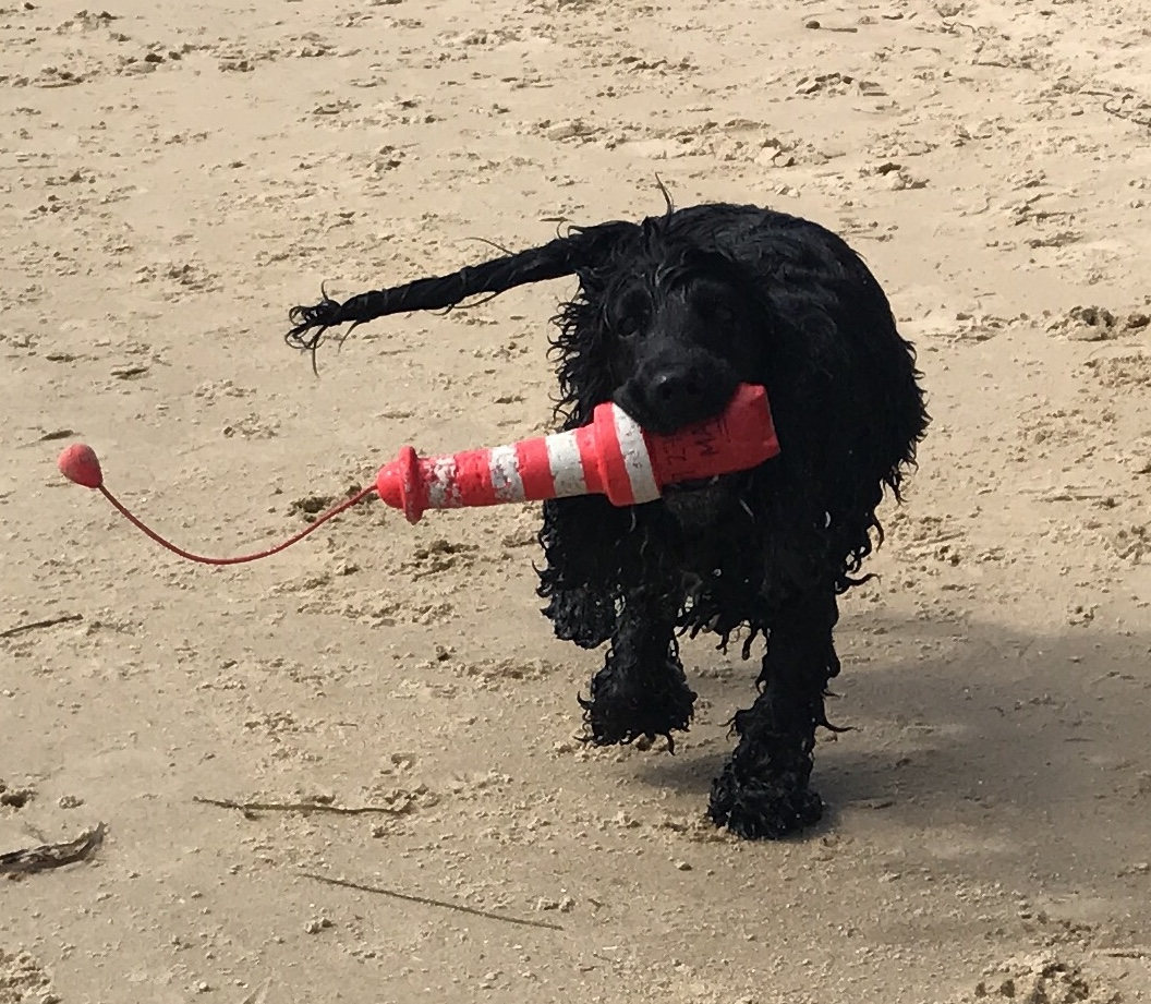 Audrey, a super active Cocker Spaniel, proudly having retrieved the 'lighthouse' float from the water