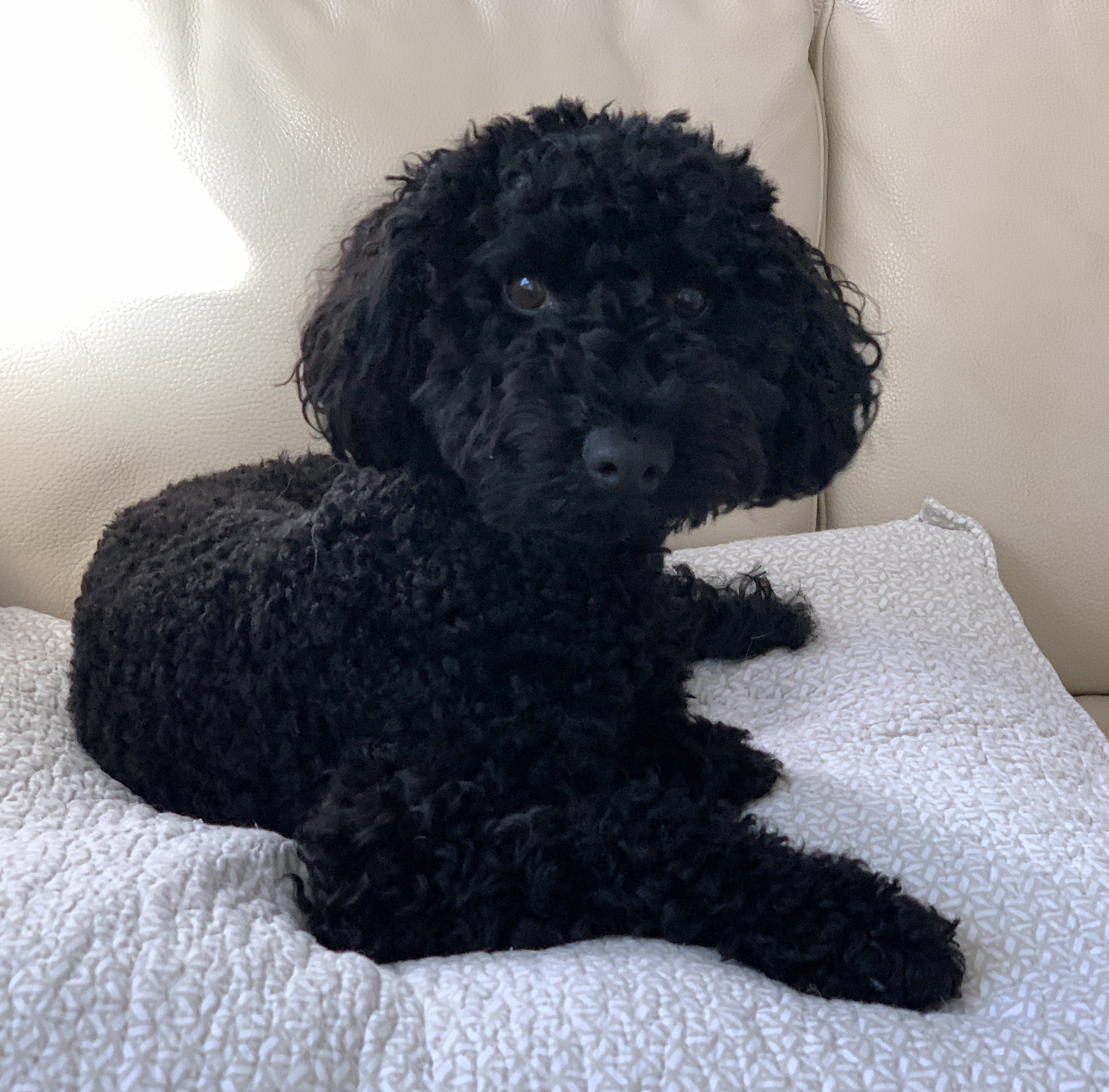 Cute little Schnoodle Pepper - a super social little fella who gets on with everyone.