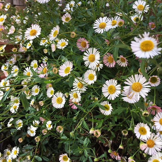 I took a photo of these daisies on a much brighter day as it is absolutely tipping it down today!! #wherehasthesunshinegone #rainraingoaway #jumperkindofday #daisies #flowers #garden #wildflowers