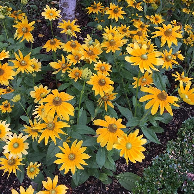 Not my garden (I wish it was!) 🌼🌻🌞💛 #flowers #flowerbed #yellow #daisyflowere #garden #gardenlove #flowers🌸 #yellowflowers