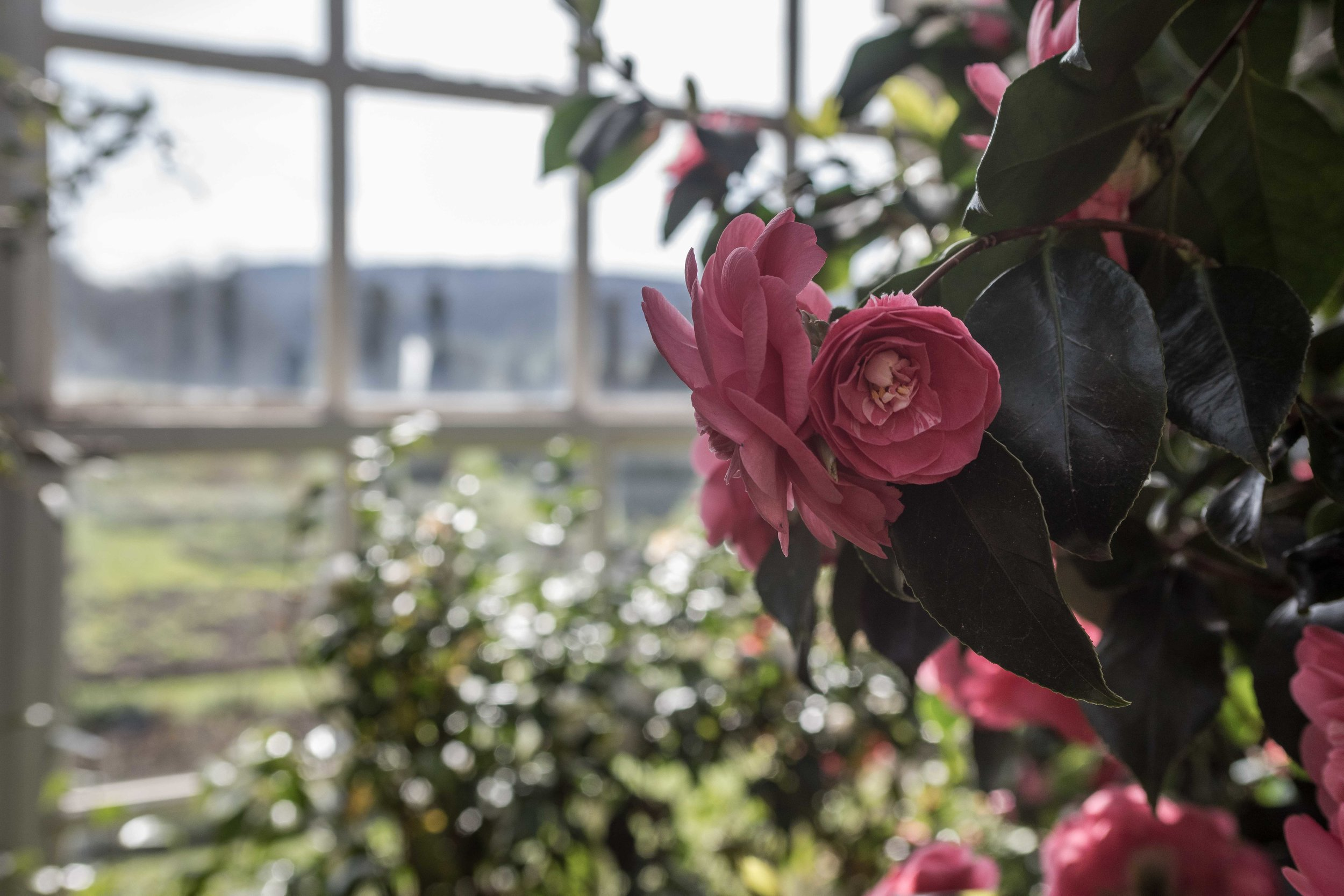 1st Dukes Greenhouse built in the 17th century now housing a collection of camellias.