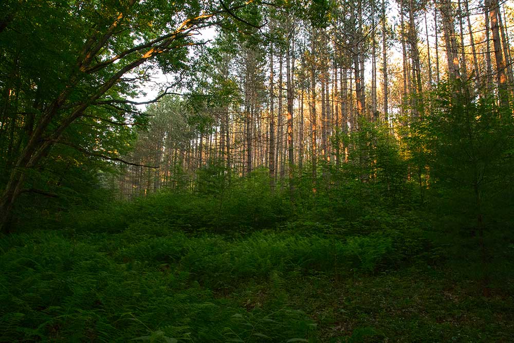 Sunset on the red pine stand on Tom's Run loop trail