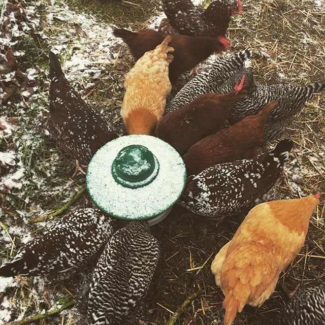 It's the chicken's first snow day, they're not fans. I'm washing produce in the sleet for our final CSA pick up. See everyone soon!