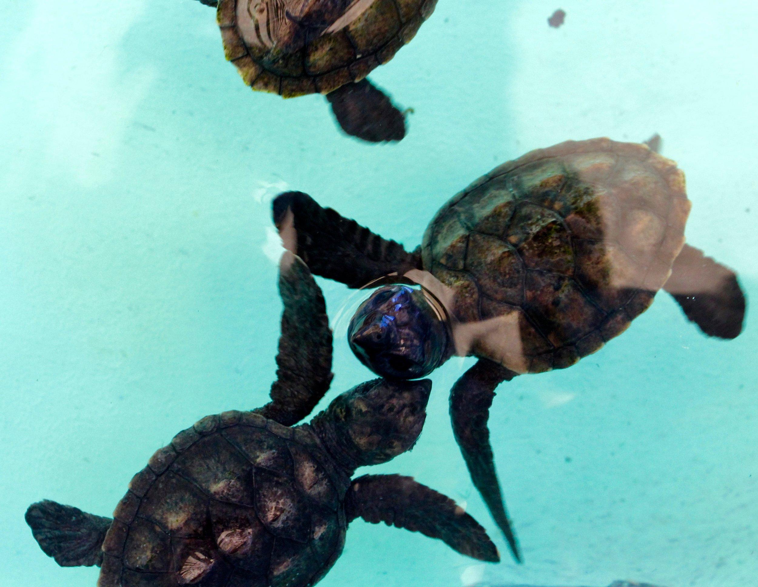 Sea turtle kisses, Bequia