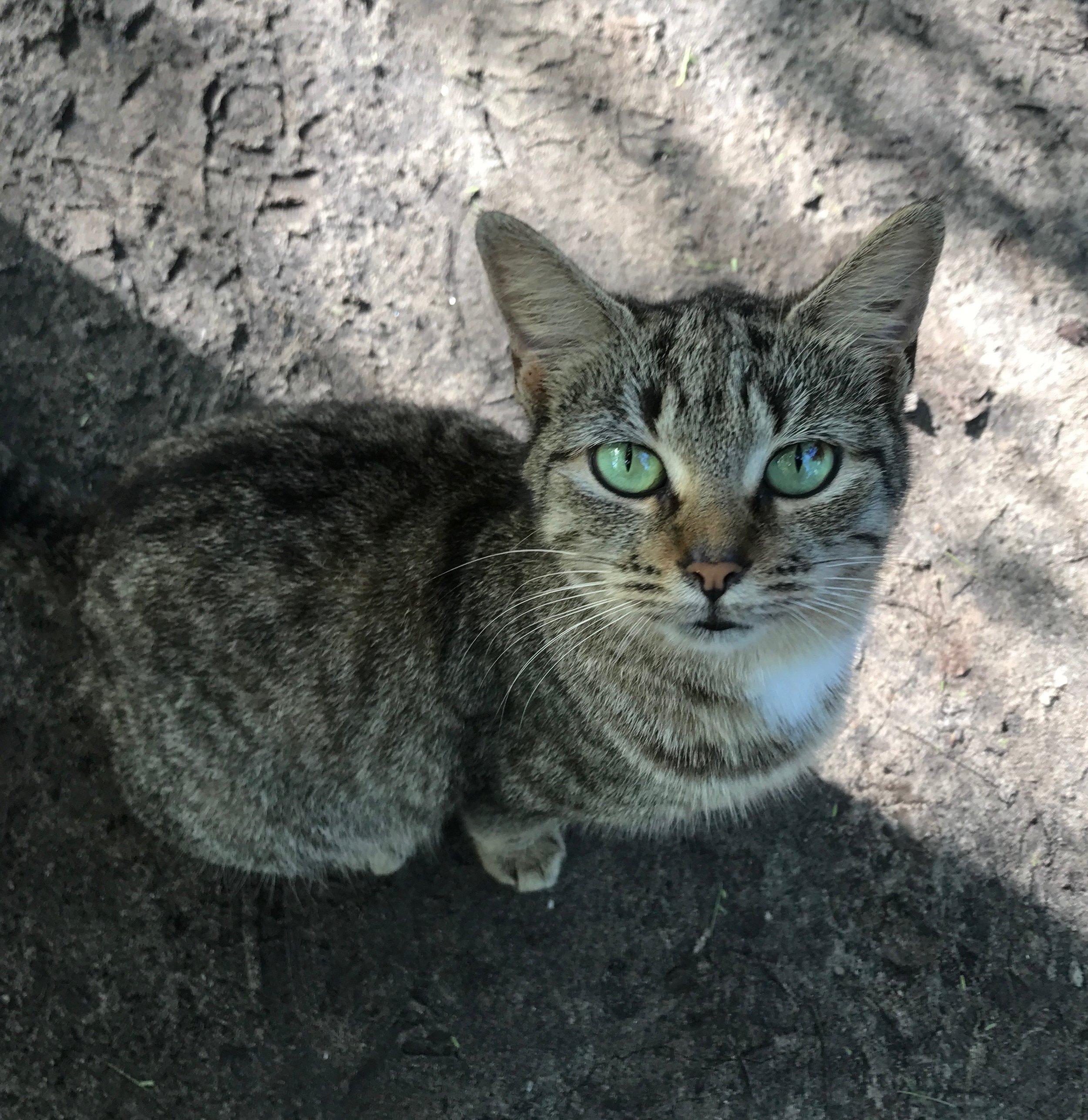 Feline friend, Saint Anne, Martinique