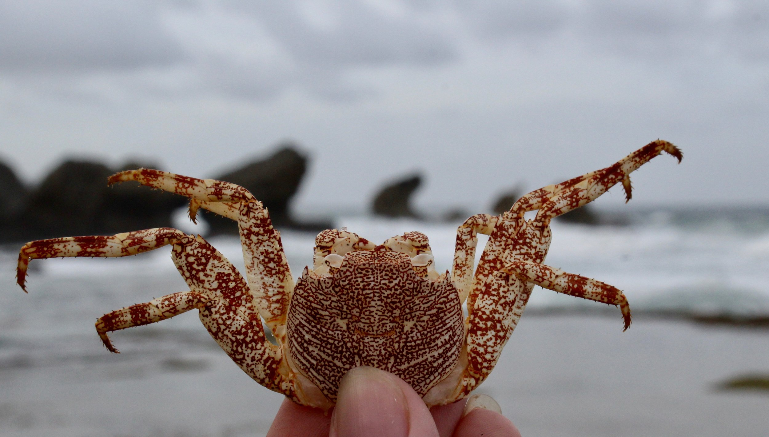 Crab shell, rocks eroded by waves in the background