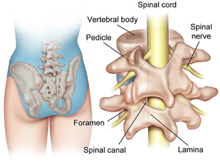 spinal vertebrae and spinal cord