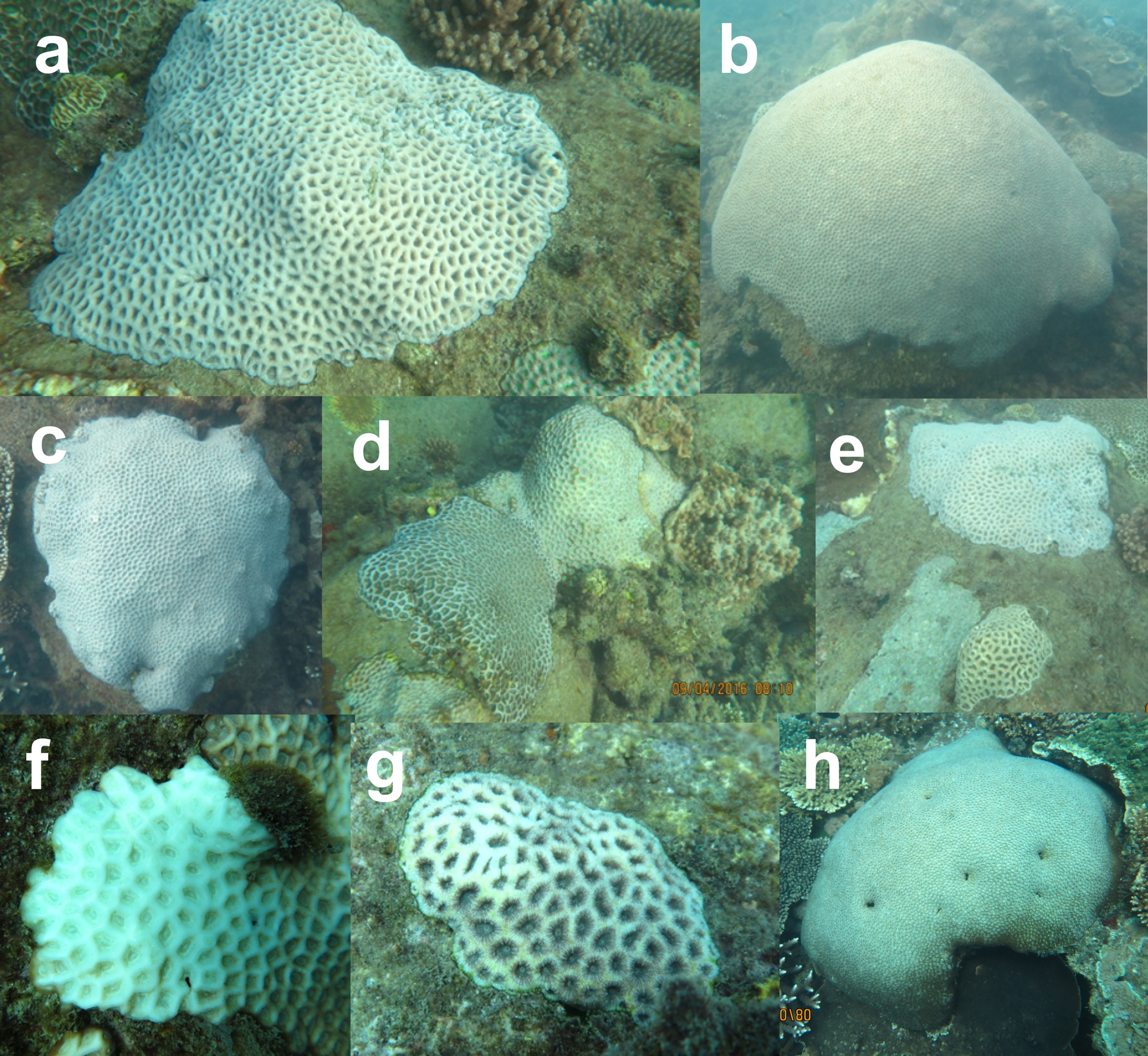 - Photographs showing bleaching of massive coral colonies at (a–e) Big Peninsula and at ( f,g) Barren Island in the Keppels in April 2016,during the 2014-2017 global mass bleaching event.