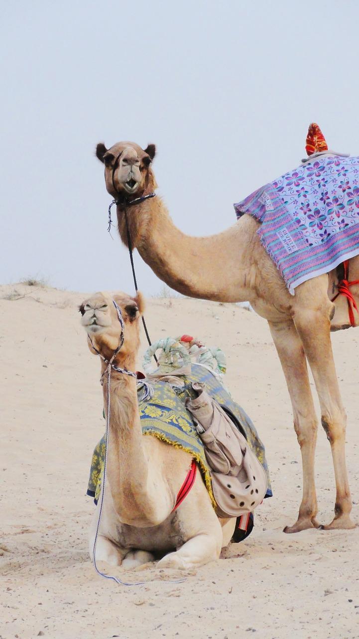 camels-597185_1280.jpg