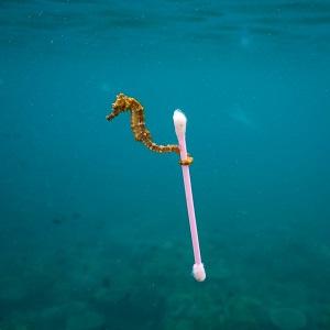 seahorse.cottonbud.1jpg.jpg