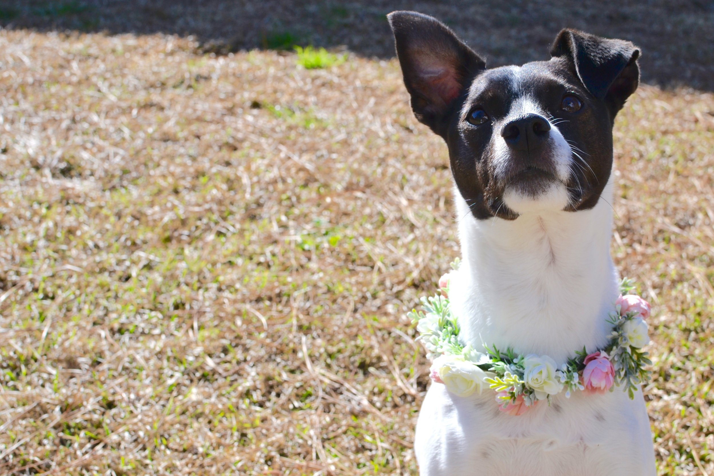 Jackie Floral Halo DOG collar