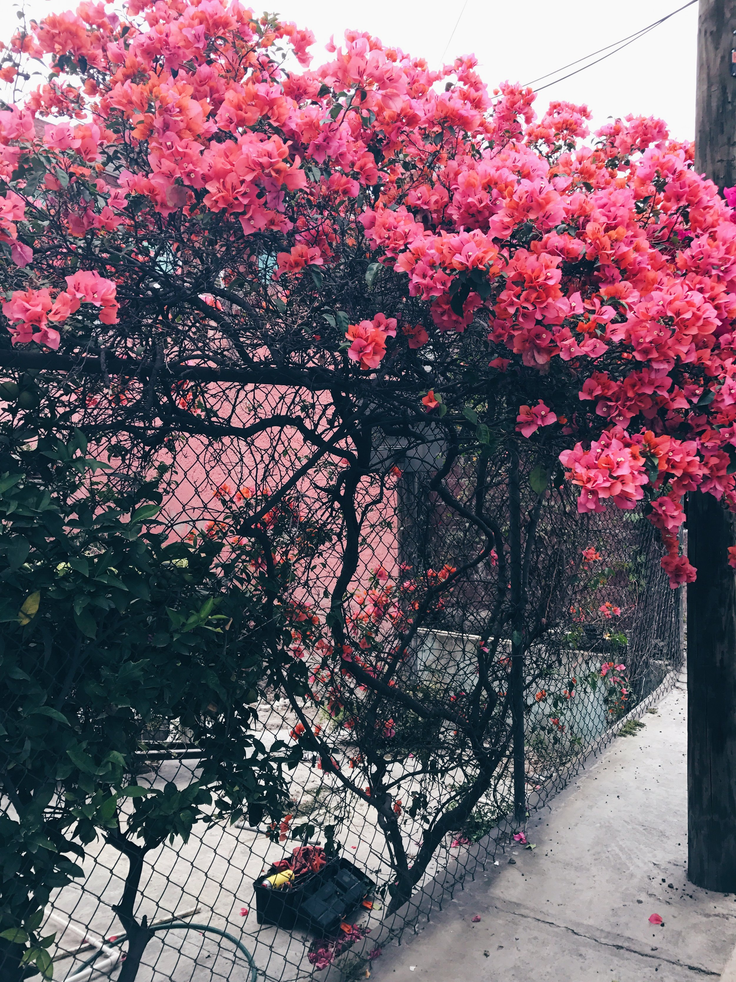 I missed bougainvillea! Look at this pretty one!