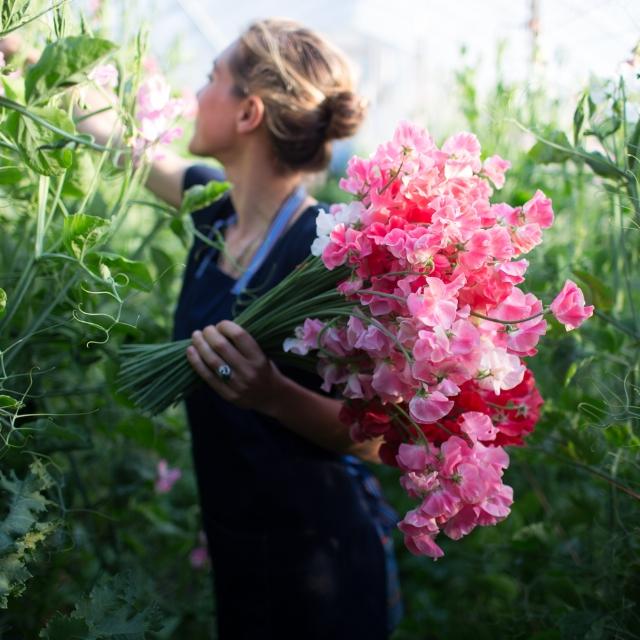 pink-sweet-pea-flowers.jpg