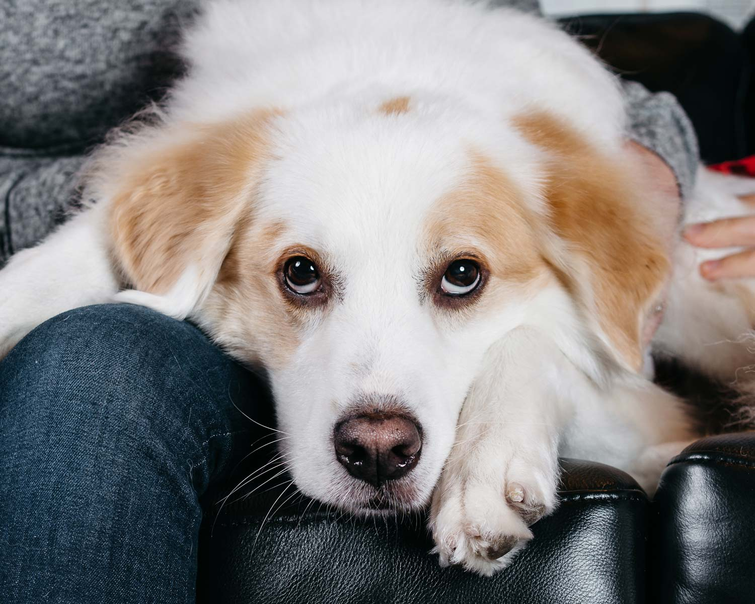 Portrait of a puppy on a leather couch taken by Orlando Pet Photography