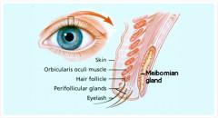 meobian gland.jpg