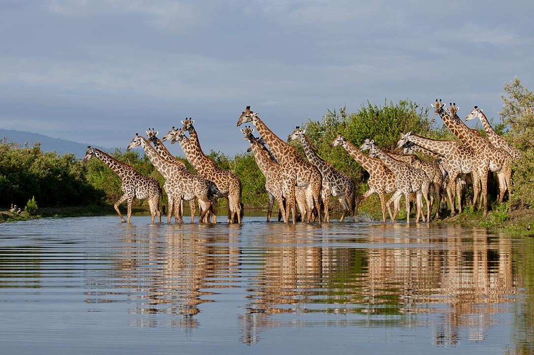 Selous-giraffe-river-reflections-RR.jpg