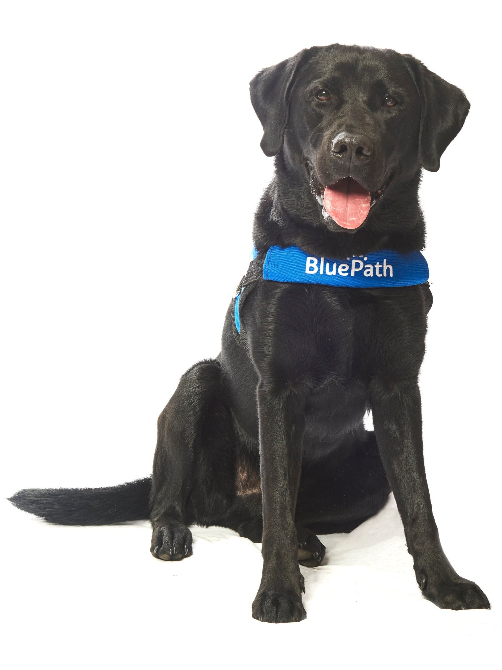 BluePath Chester   Graduated with the Flaherty family  Raised by Judy Wiles  Fostered by the Carlin family  Provided by Southeastern Guide Dogs