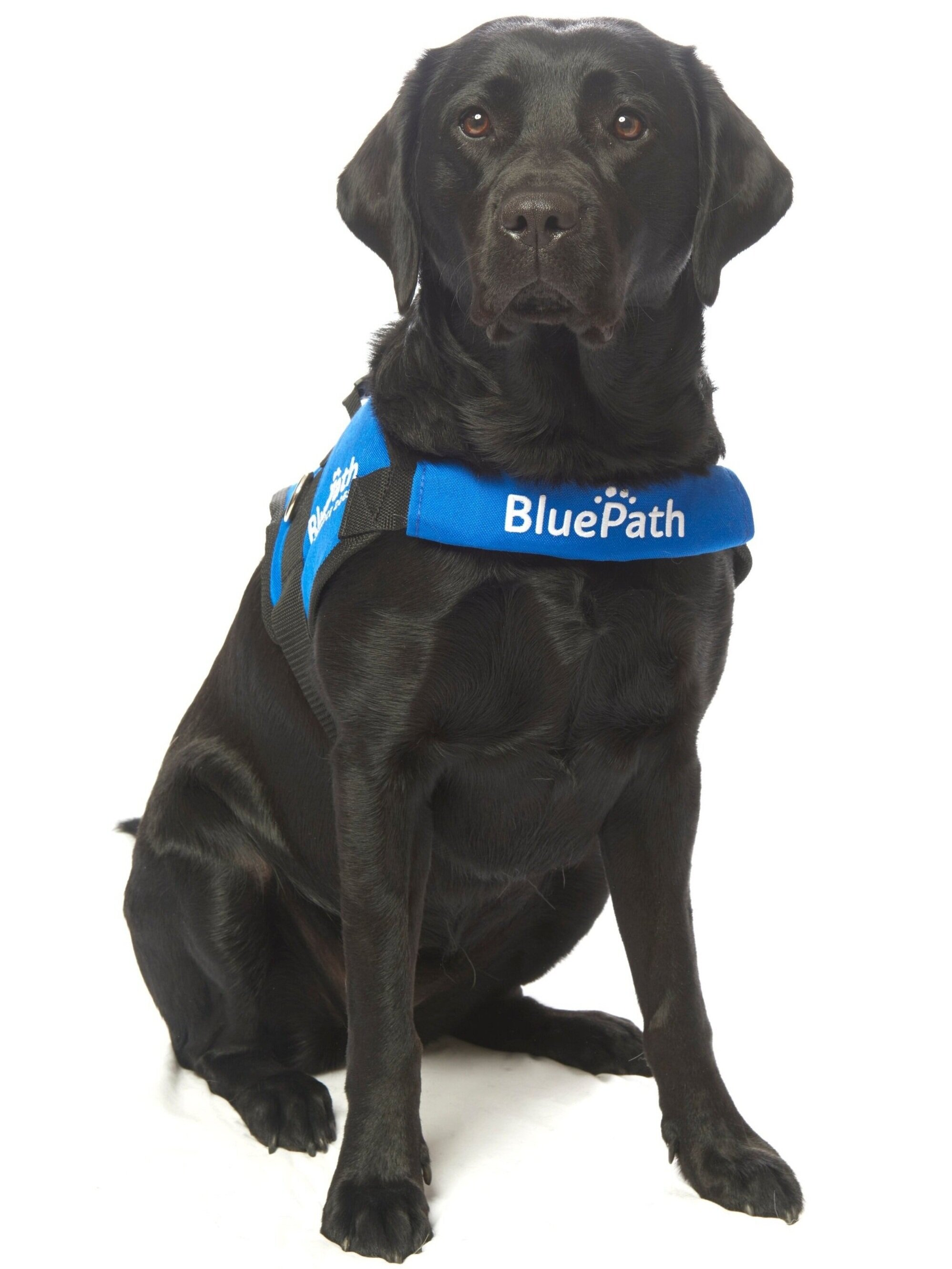BluePath Chelsea   Graduated with the Collins family  Raised by Sue and Rebecca Reznak  Fostered by Jim Brown and Marianne Devine  Provided by Southeastern Guide Dogs