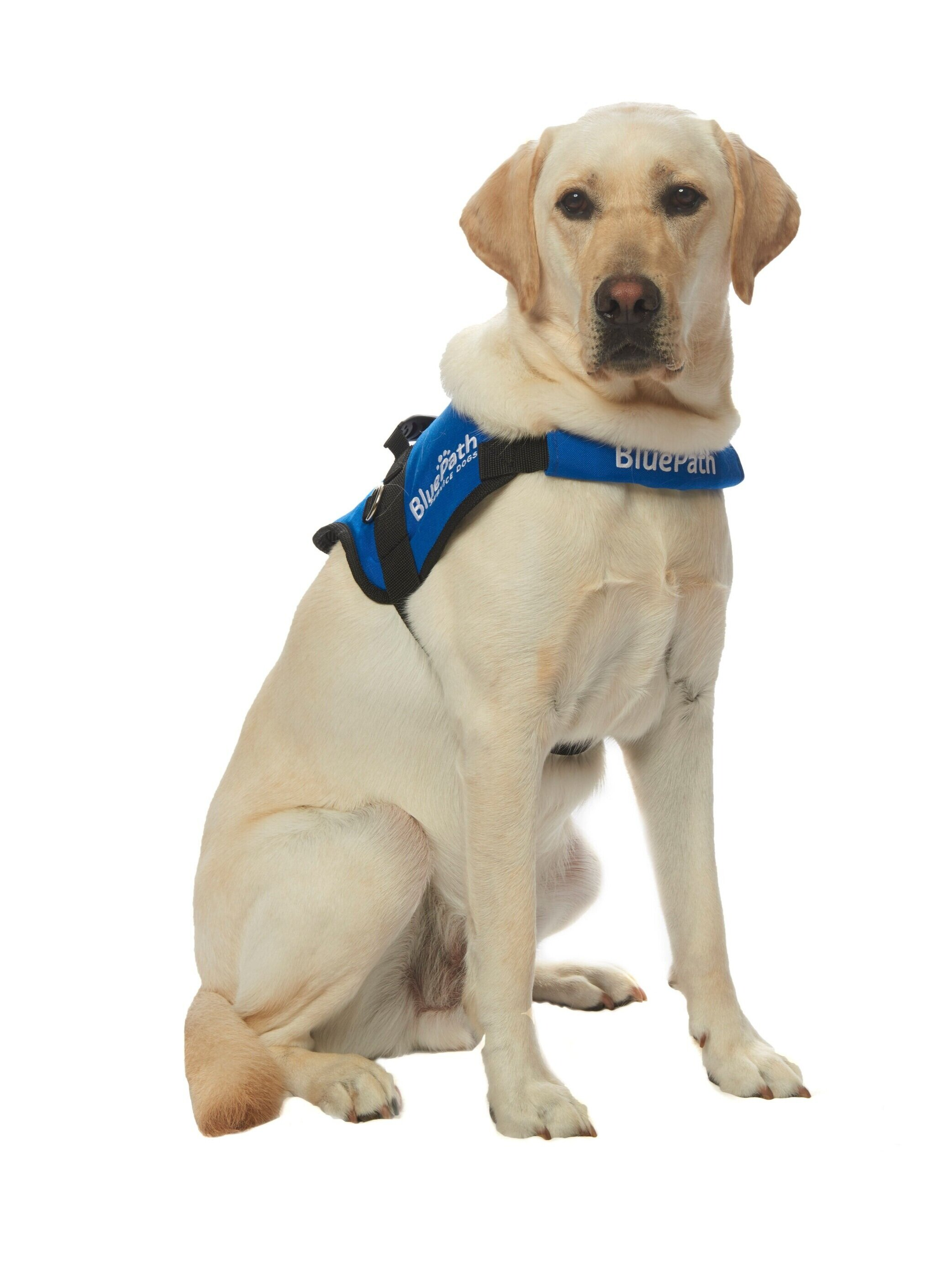 BluePath Clancy   Graduated with the Millman Family  Raised by Garrett Niedlinger, Lauren Cook and Luke Anderson  Fostered by the Sato family  Provided by Guide Dog Foundation