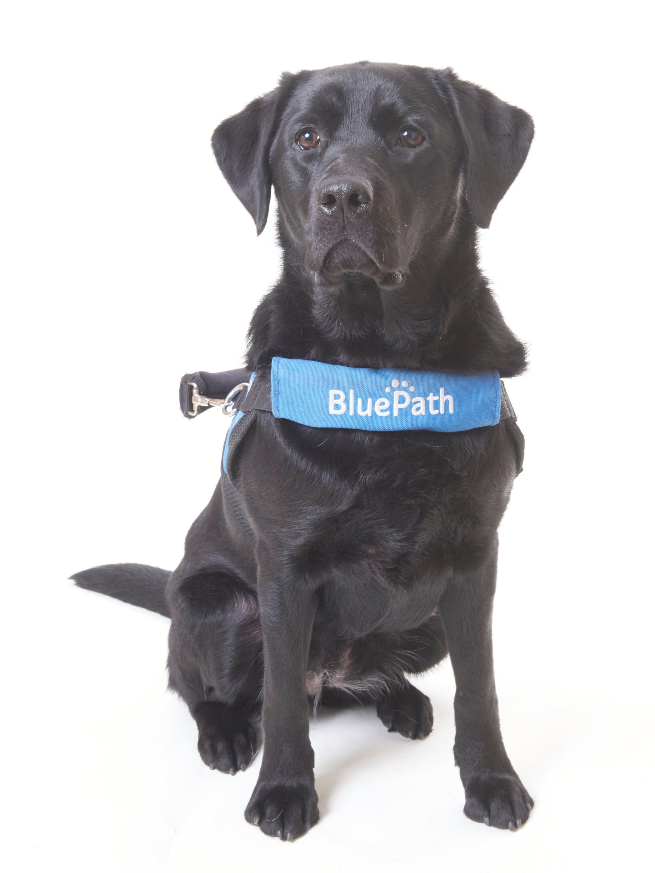 BluePath Tricia   Graduated with the Galatan family  Raised by Carolyn Anders  Fostered by the Armstrong family  Provided by Guide Dog Foundation