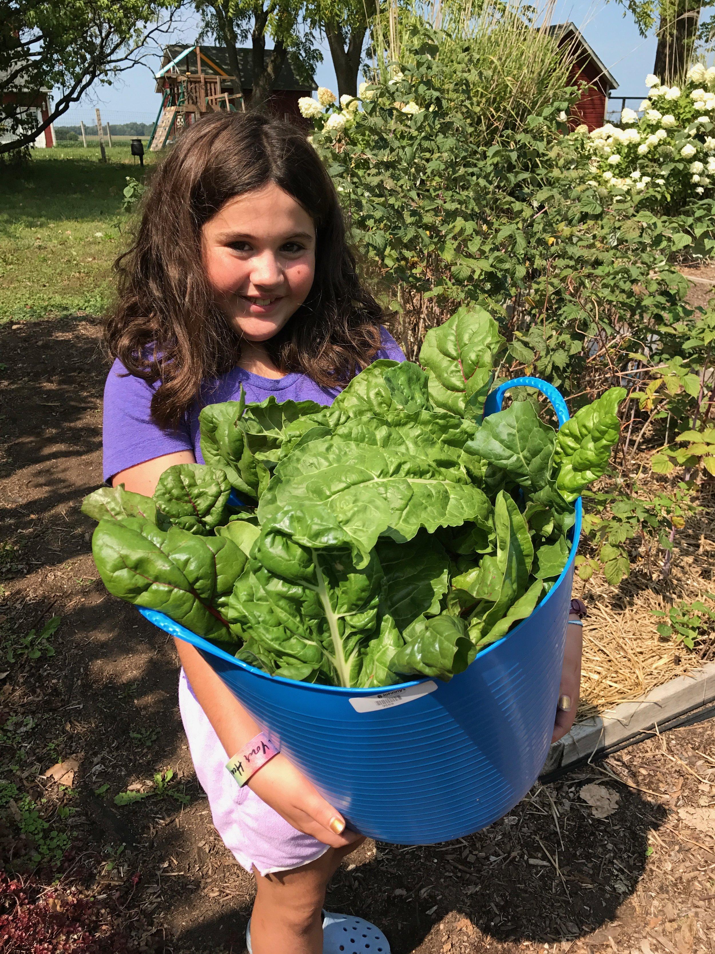 Olivia's rainbow chard harvest