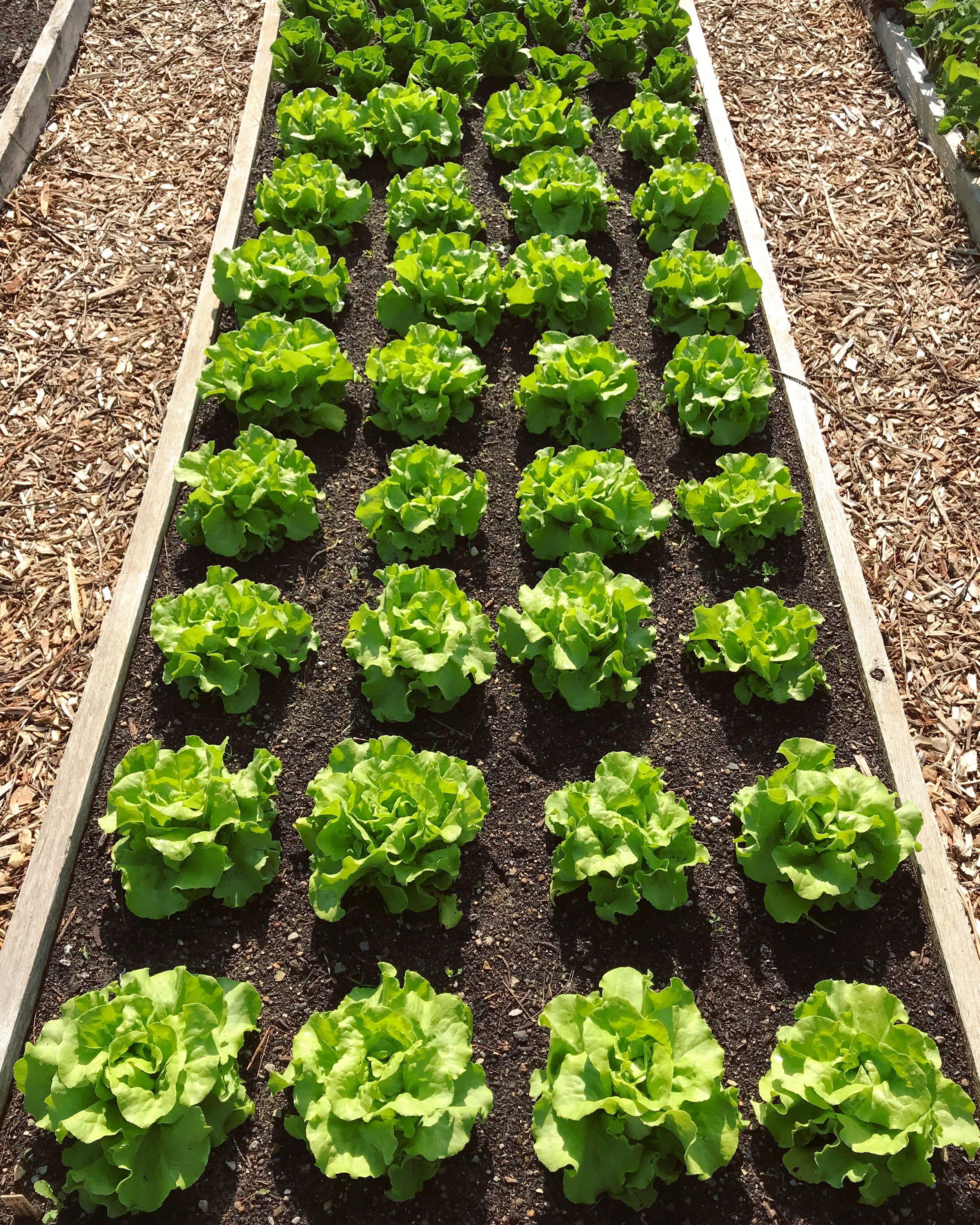 Spring lettuce heads