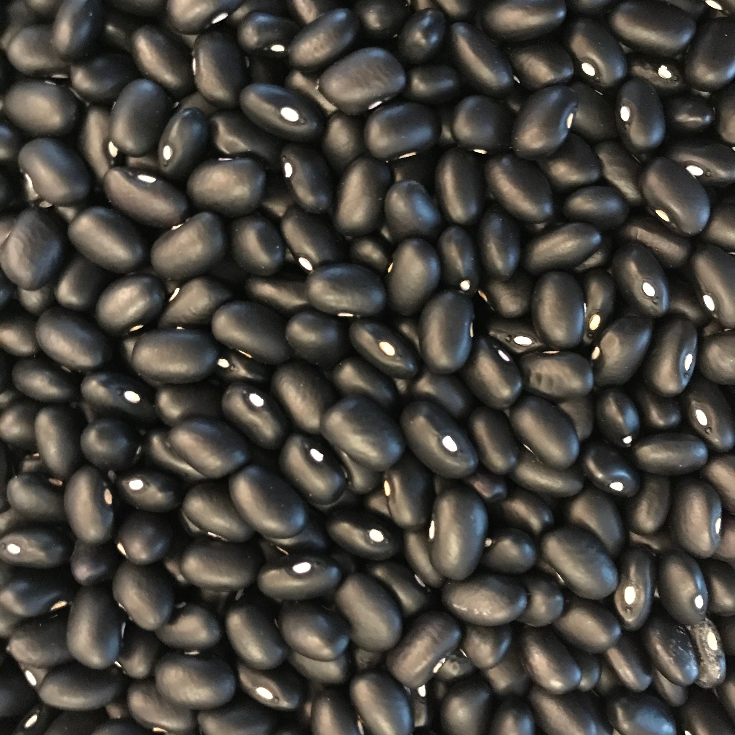 Autumn black bean harvest