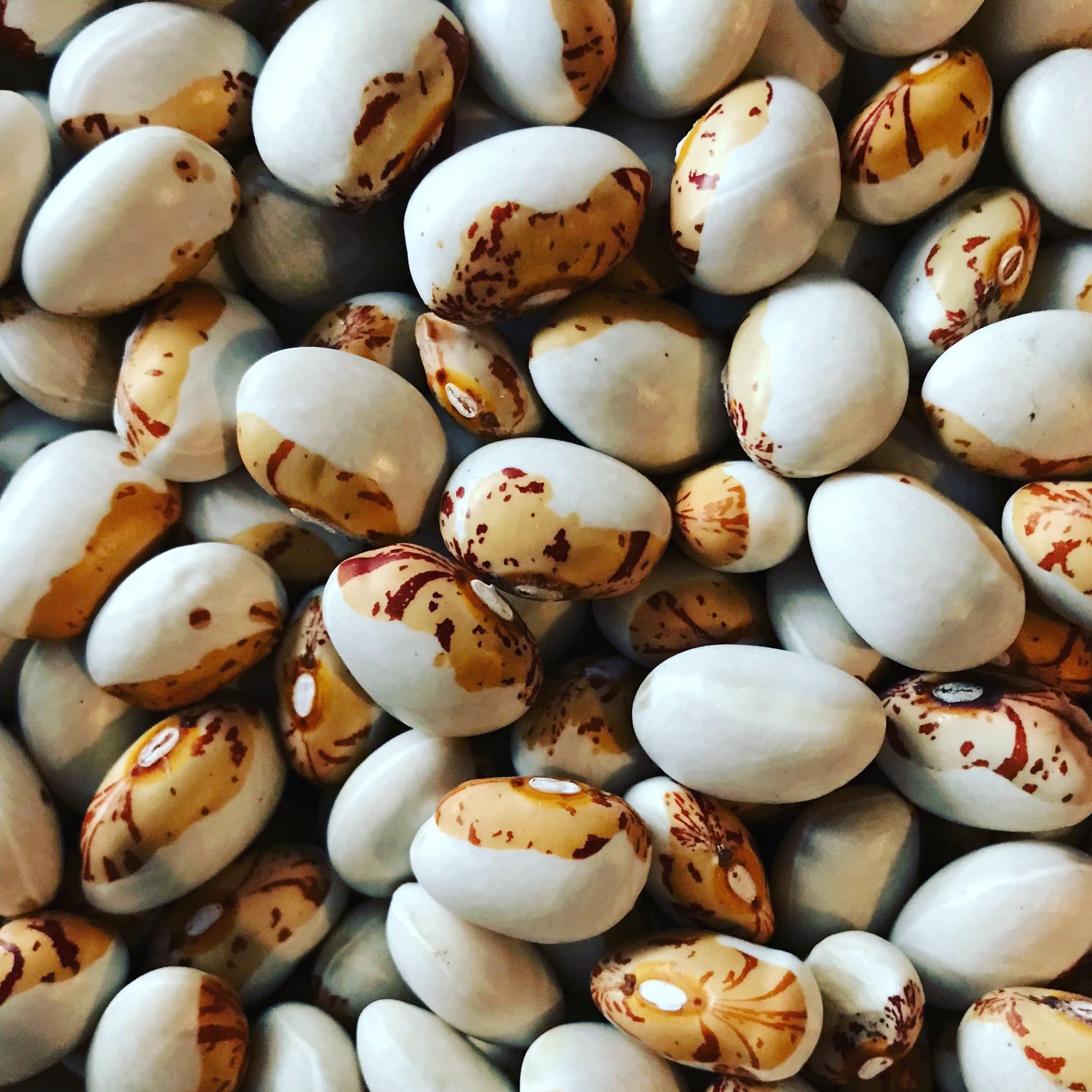 Shield bean harvest
