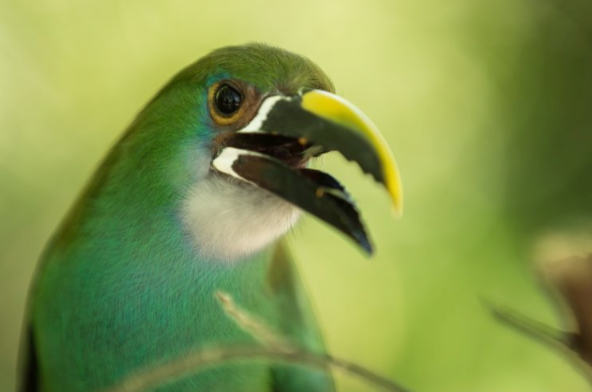 The curious Emerald Toucanet /// Photograph by Pablo Durana