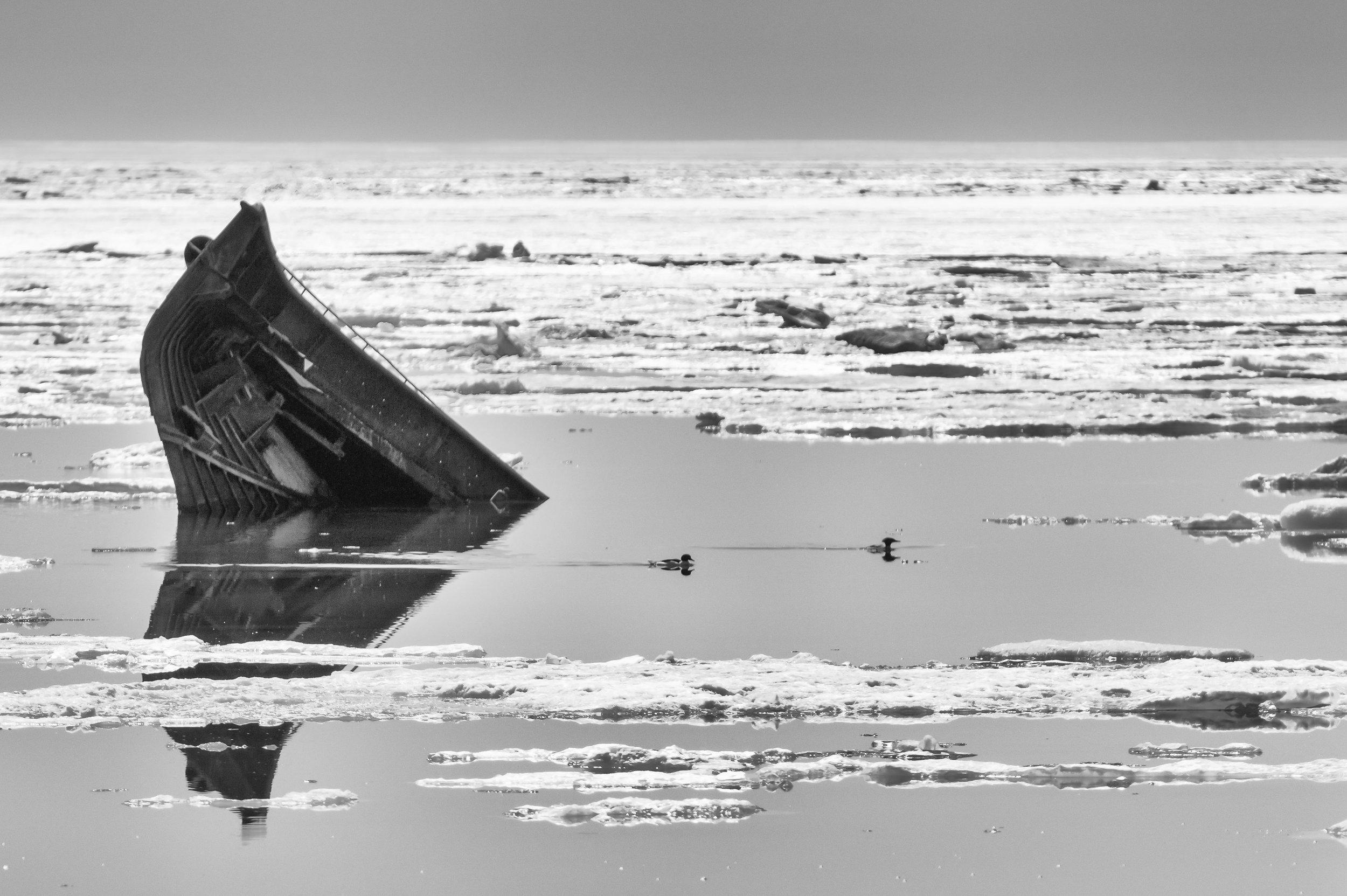 Mergansers at the Sunken Ship