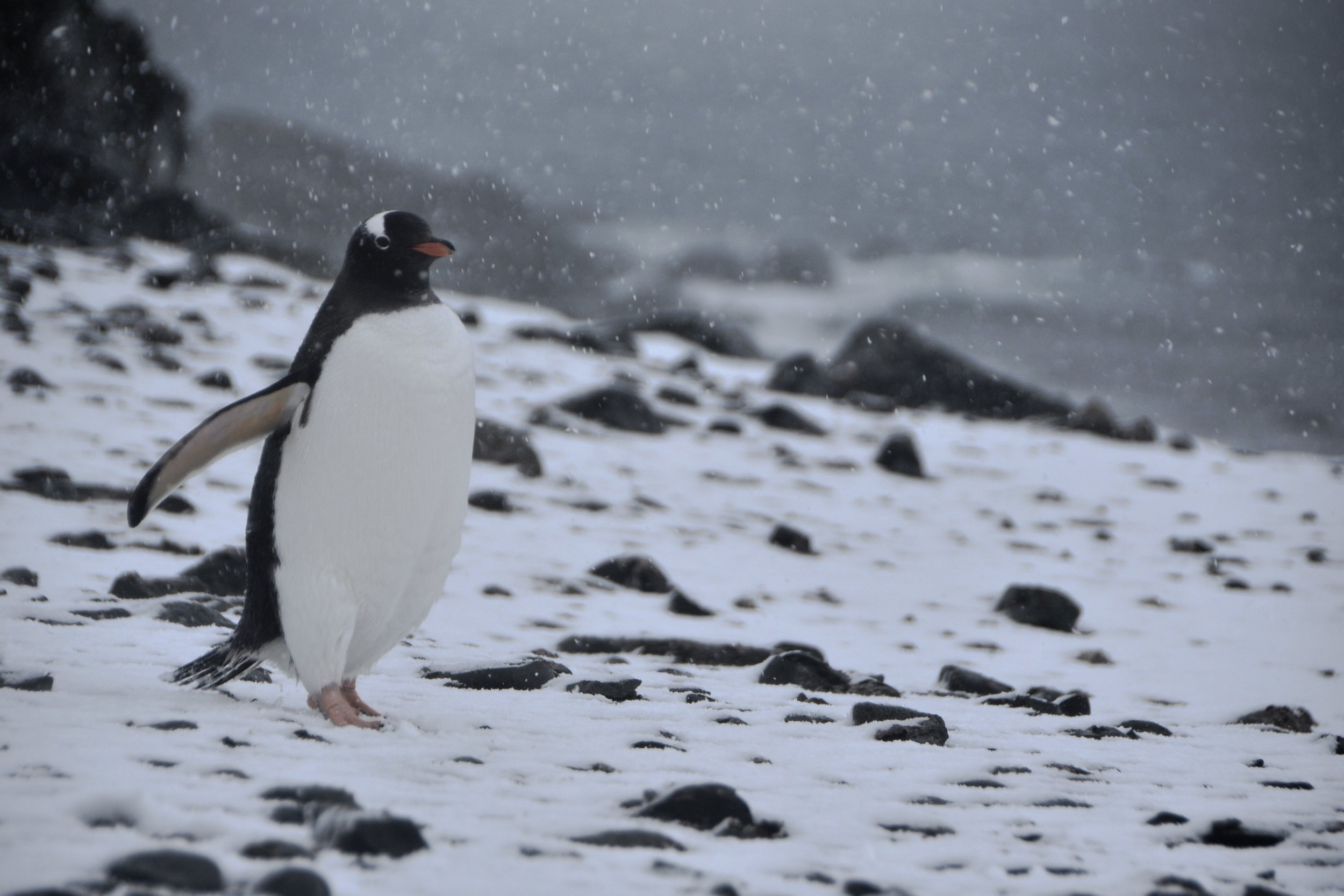 If this penguin committed murder, who would prosecute? The answer may surprise you. Photo Eric Hall /  Virginia Law Weekly