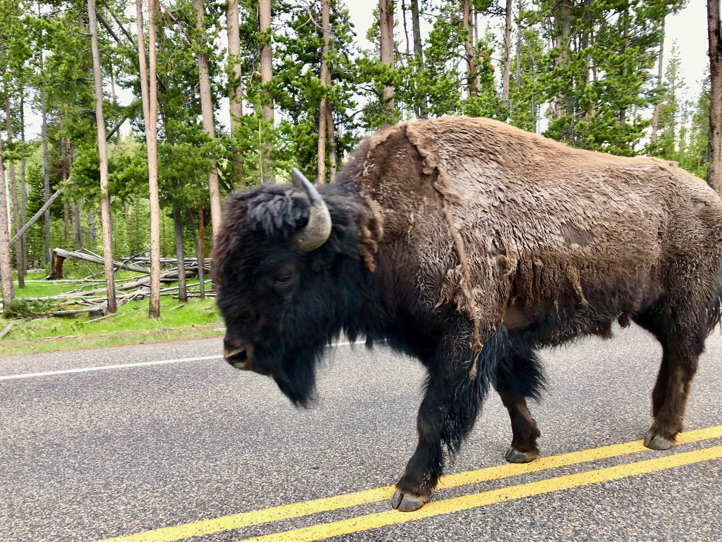Bison have the right of way in Yellowstone!