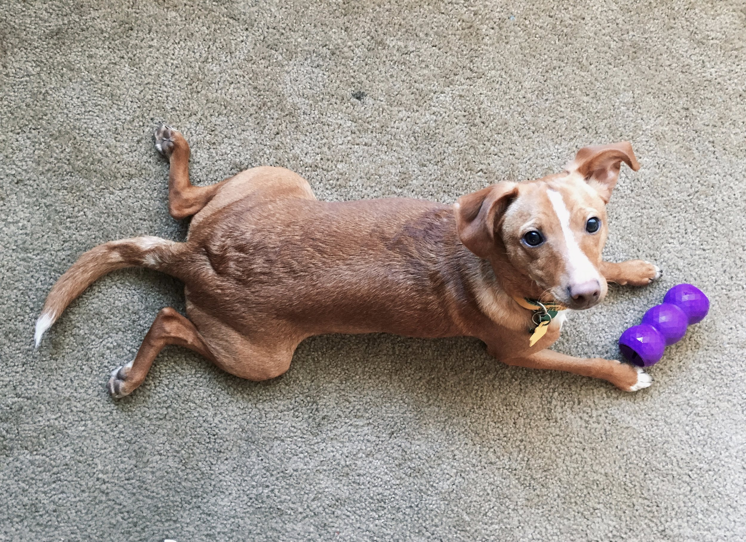 A Pup and his Kong Toy