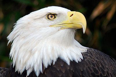 400px-Bald_Eagle.jpg