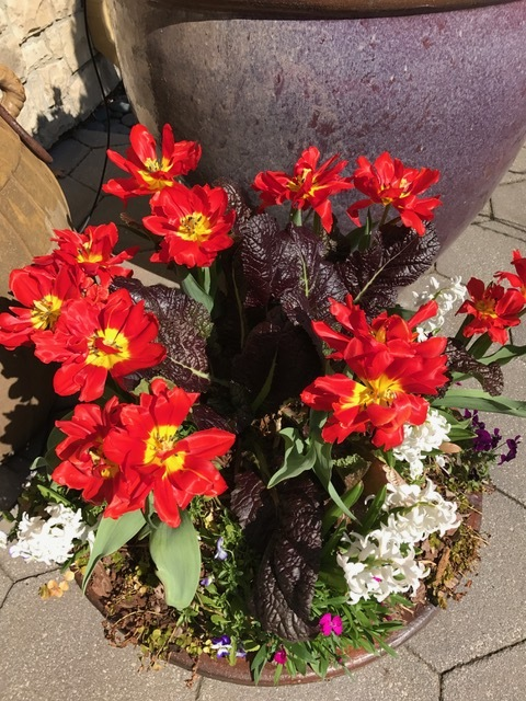Red Mustard with Abba Tulips.JPG