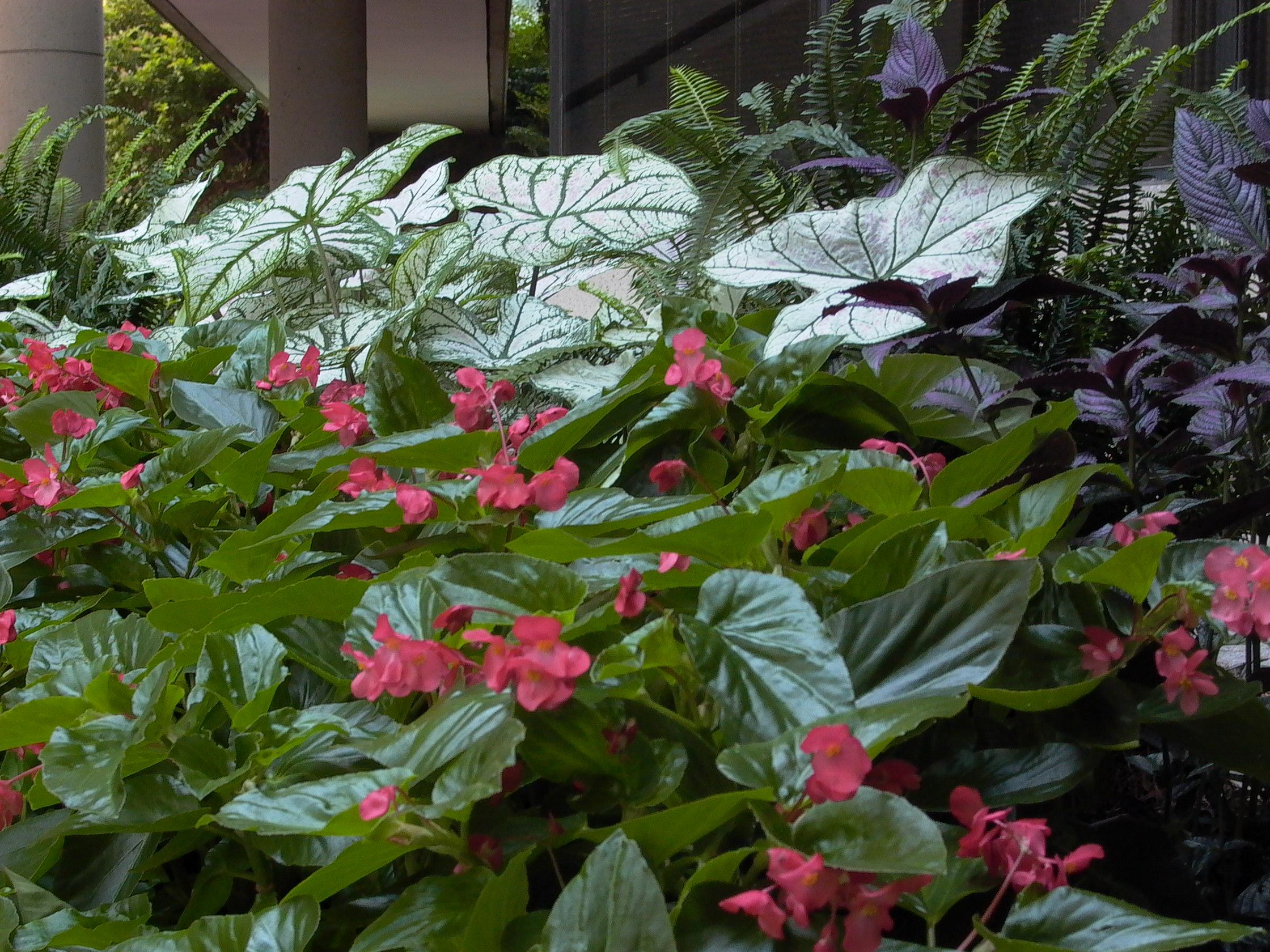 White Xmas Caladium and Dragonwing.jpg