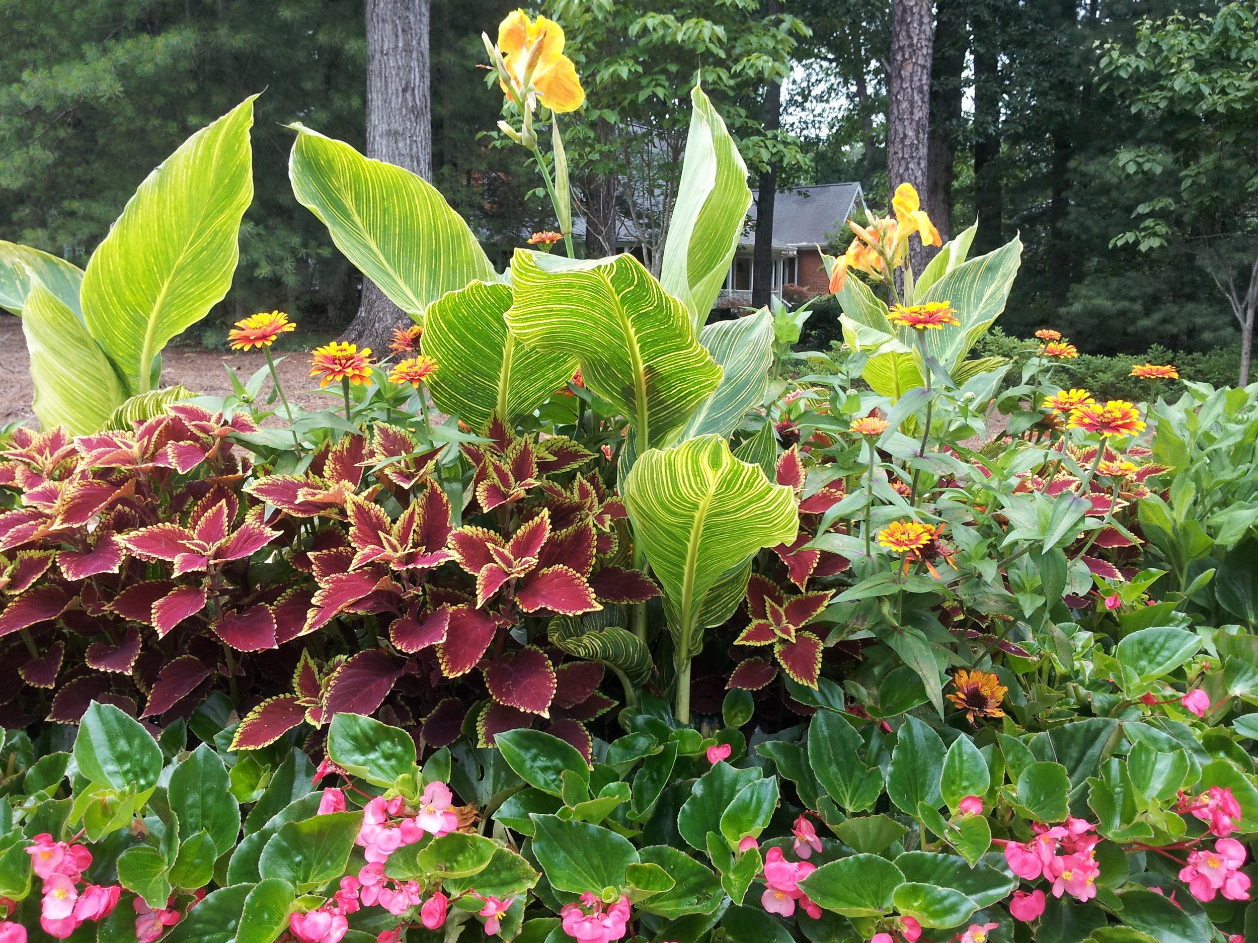Canna Coleus Whopper Begonia Combo.jpg