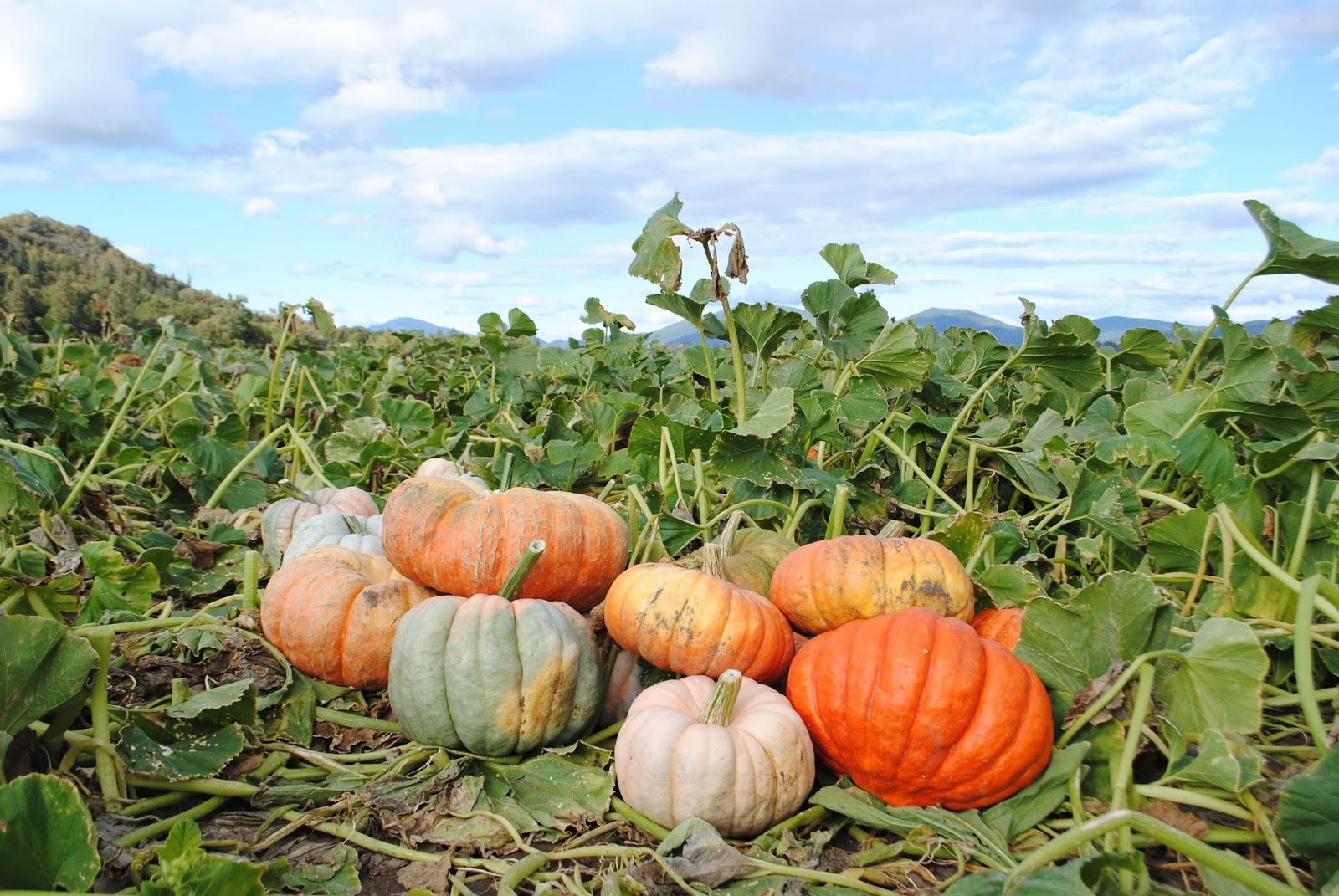 Fort Vannoy Farms Harvest Festival - Grants Pass, Oregon - Josephine County - Rogue Valley - Southern Oregon - Fall - Autumn - Pumpkin Patch - Corn Maze - Hayrides (223).JPG