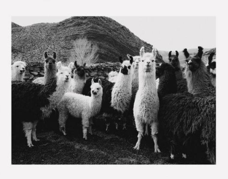 Llamas Family Art Print
