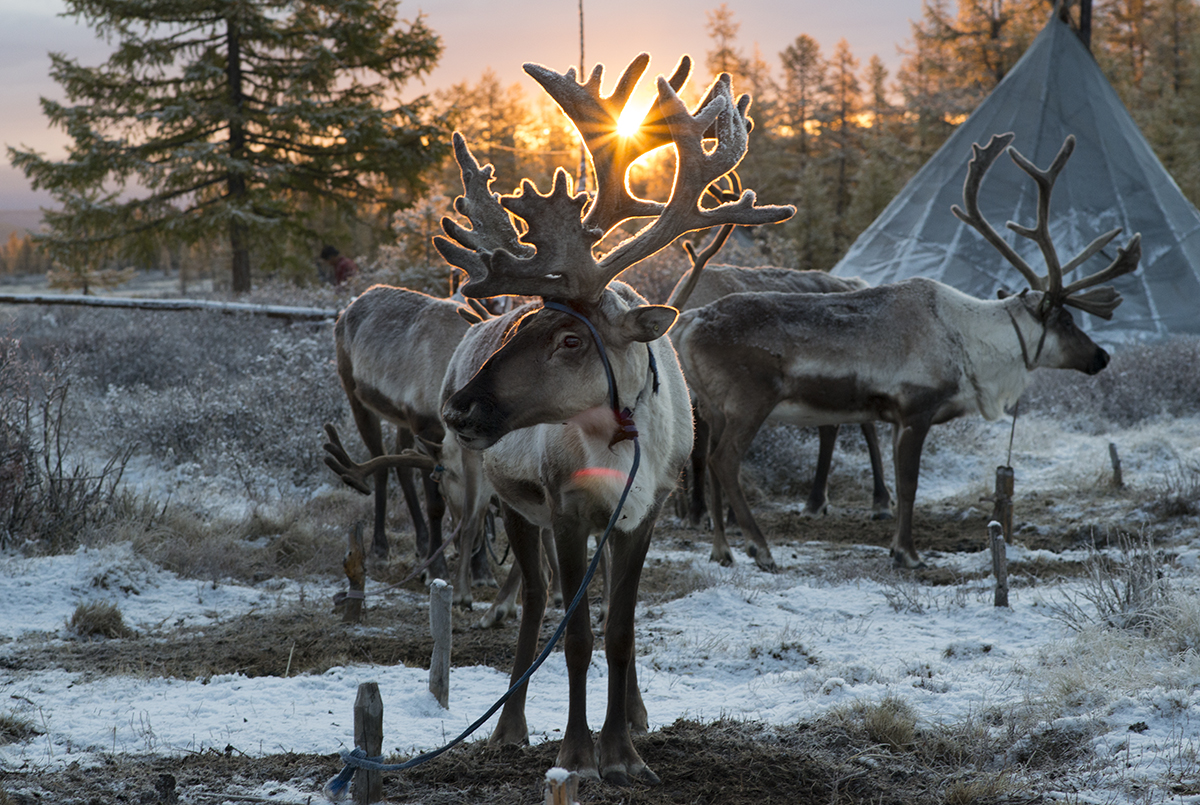 During sunrise domesticated reindeer wait at a Tsaatan campsite before being taken to a nearby forest to forage for food.
