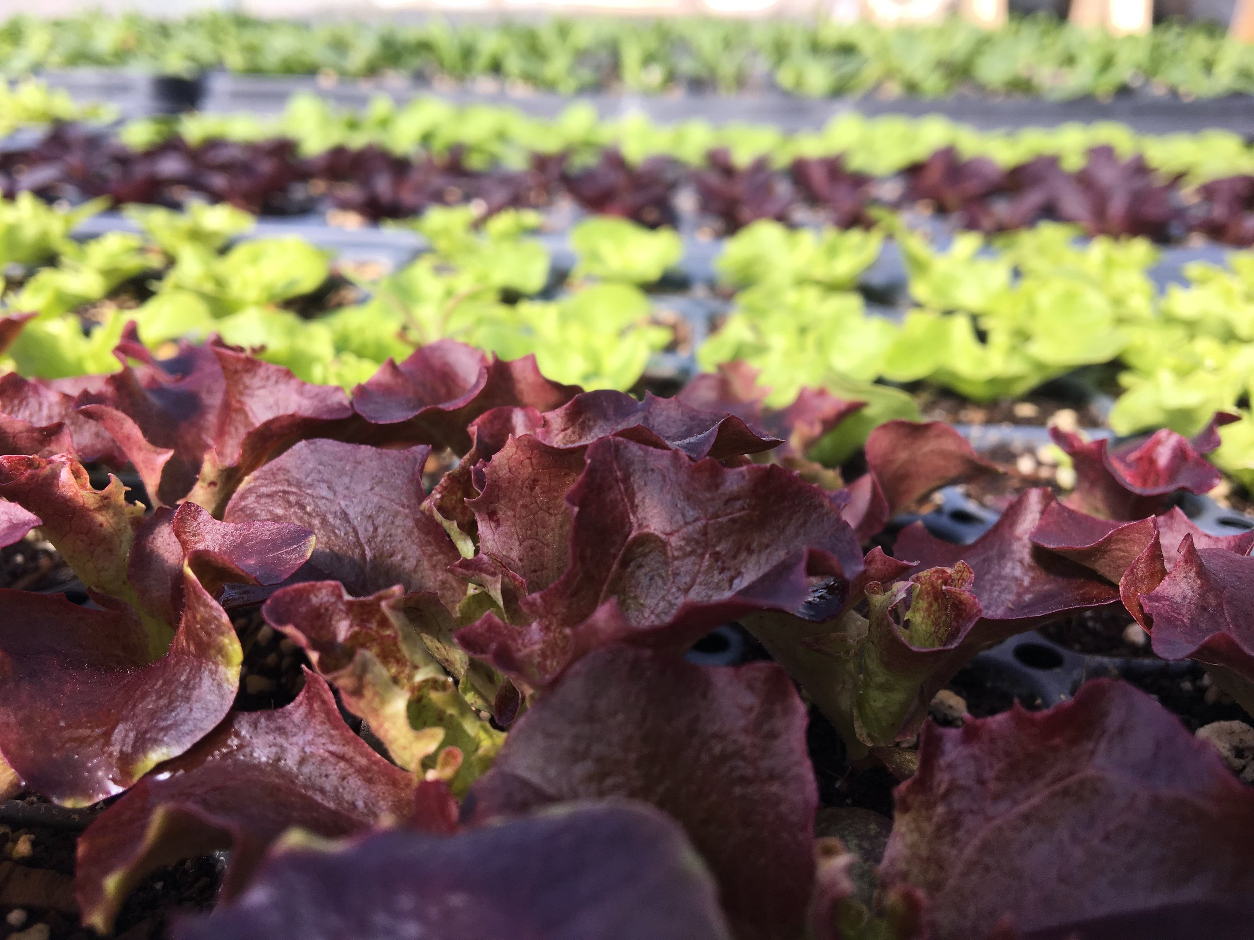 Loving the bold colors of the early head lettuce seedlings.