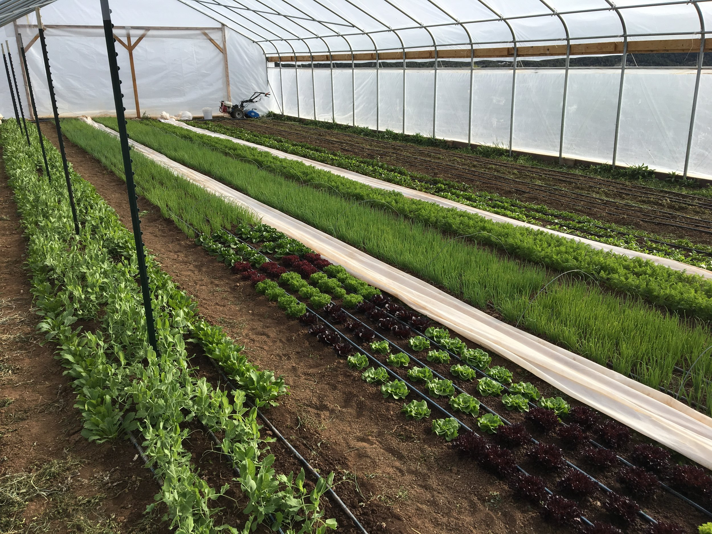 The high tunnel freshly weeded and two beds of cover cropped turned in preparation for tomatoes!