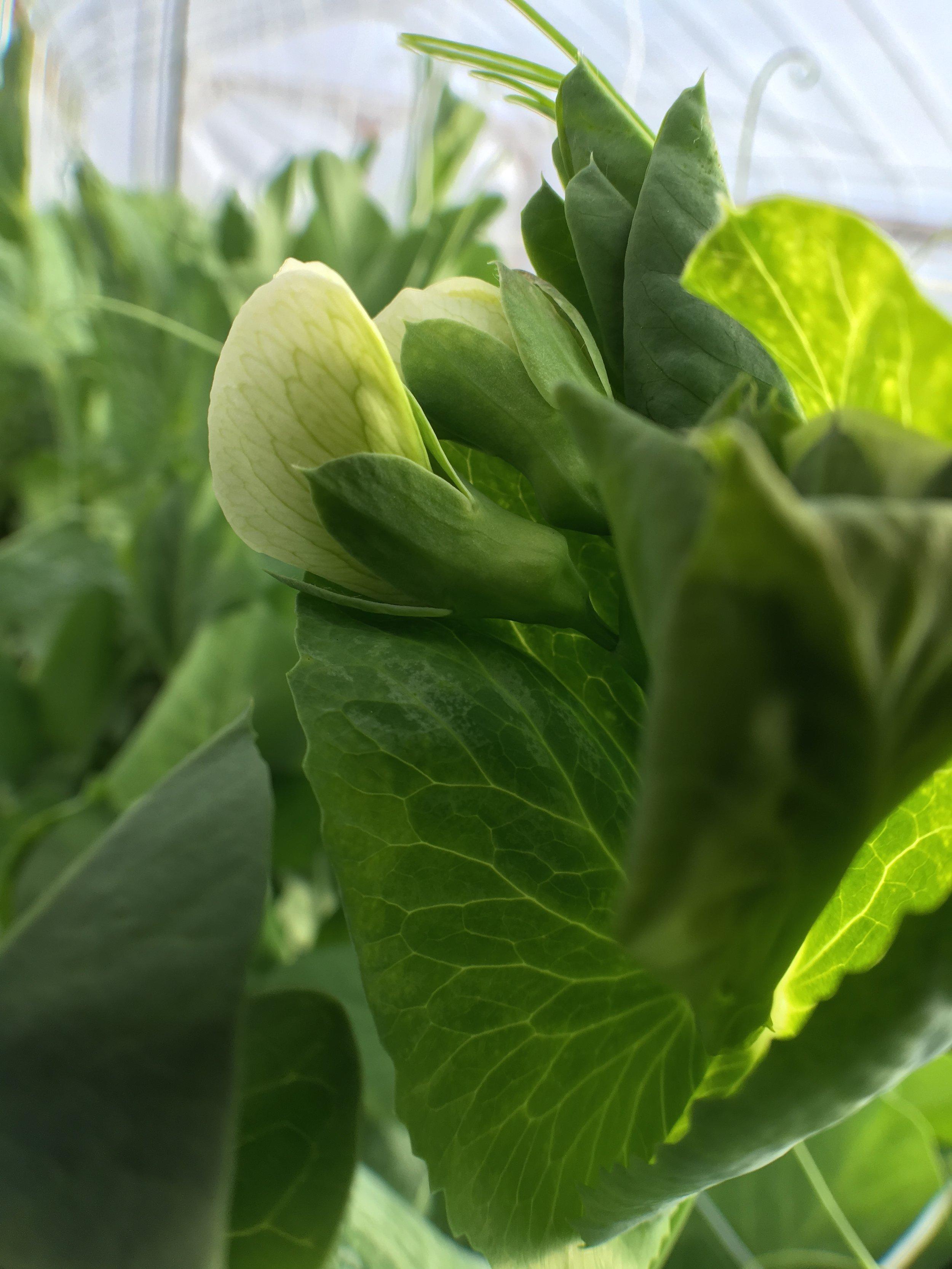 Snow peas blooming!