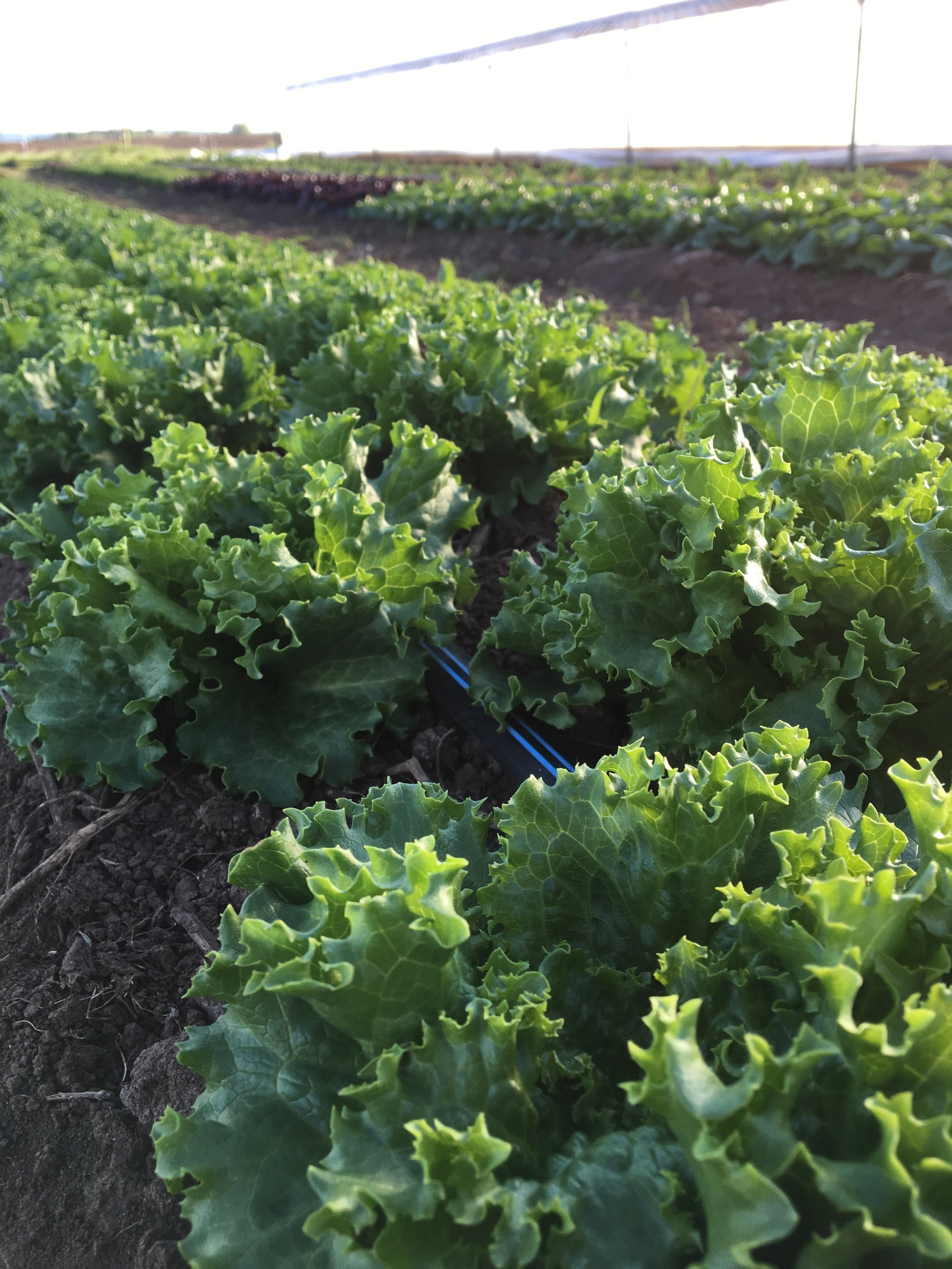 Head Lettuce starting to size up
