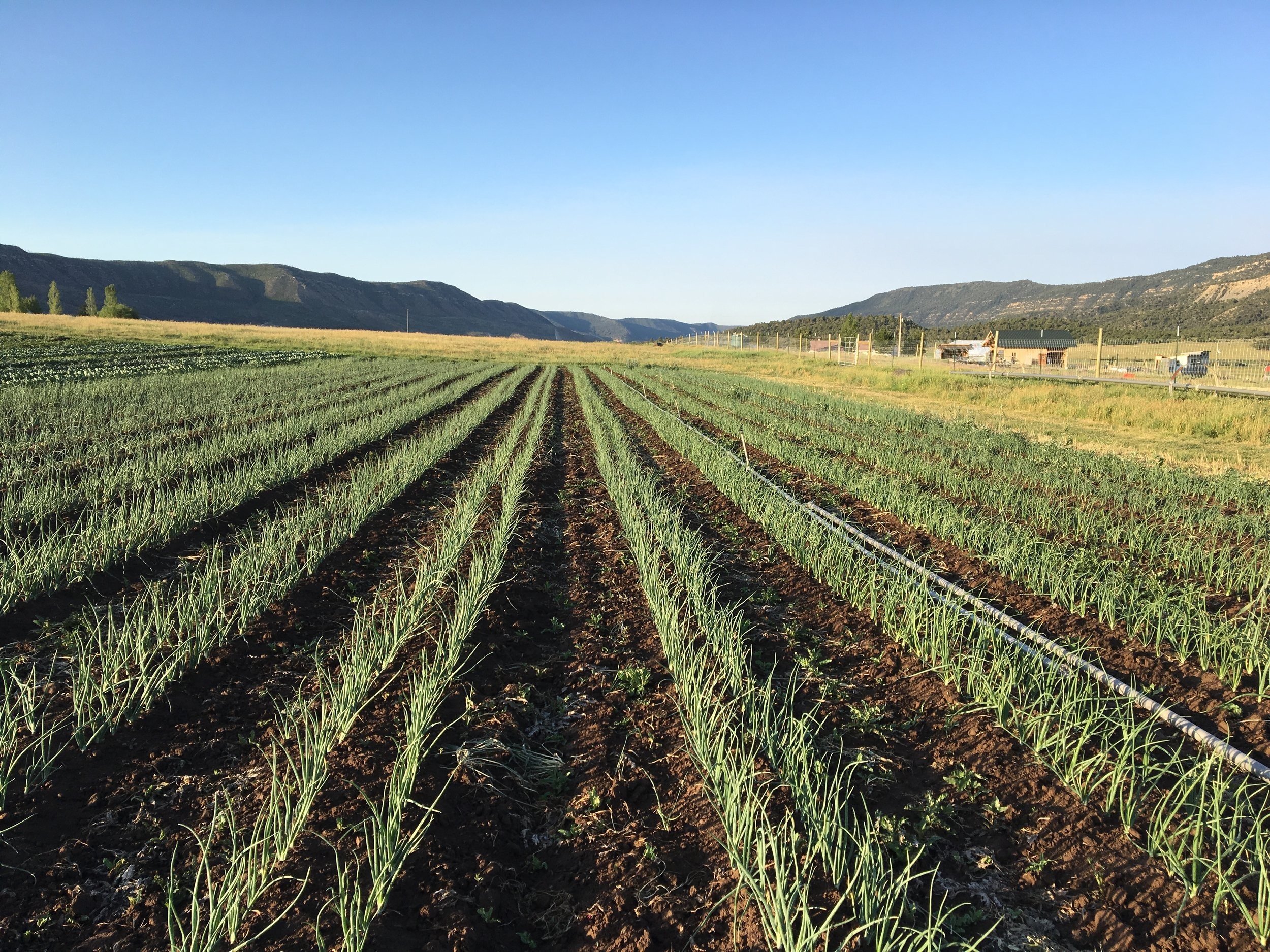 Freshly weeded onions looking lovely