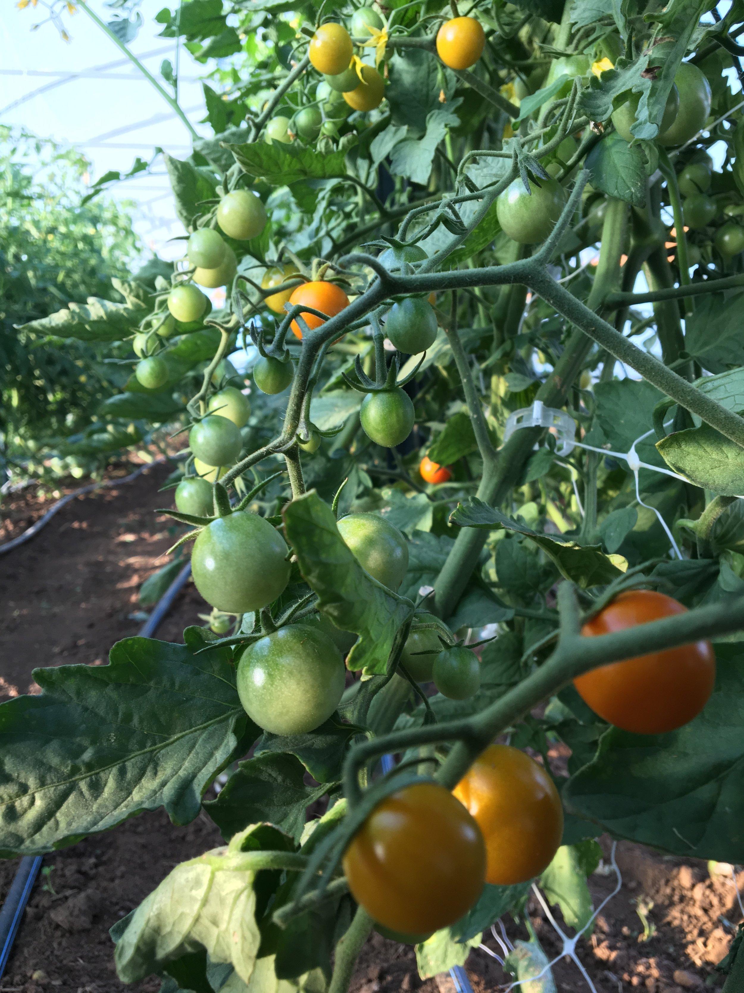 Cherry tomatoes beginning to ripen!