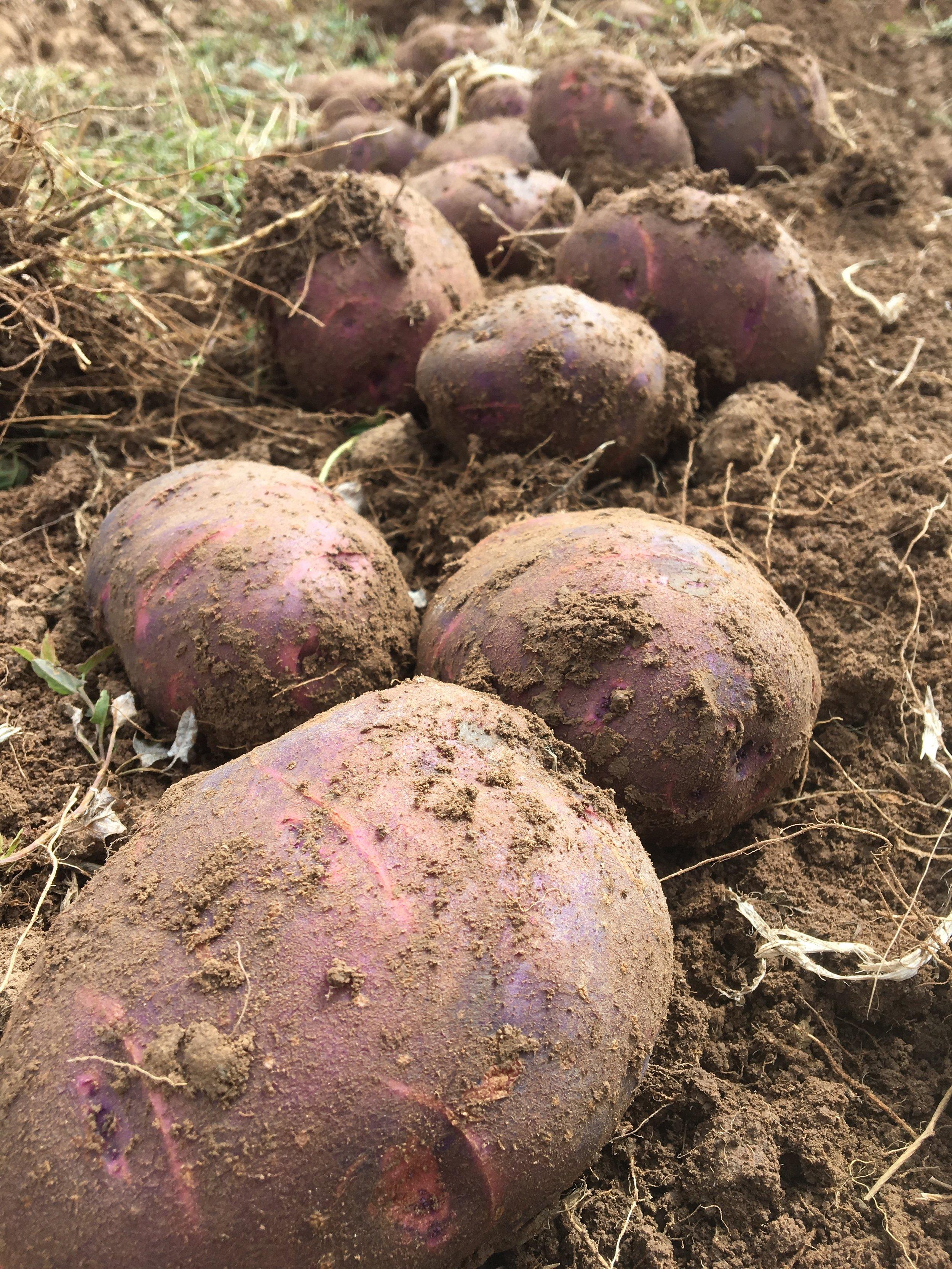 Purple Viking Potoates