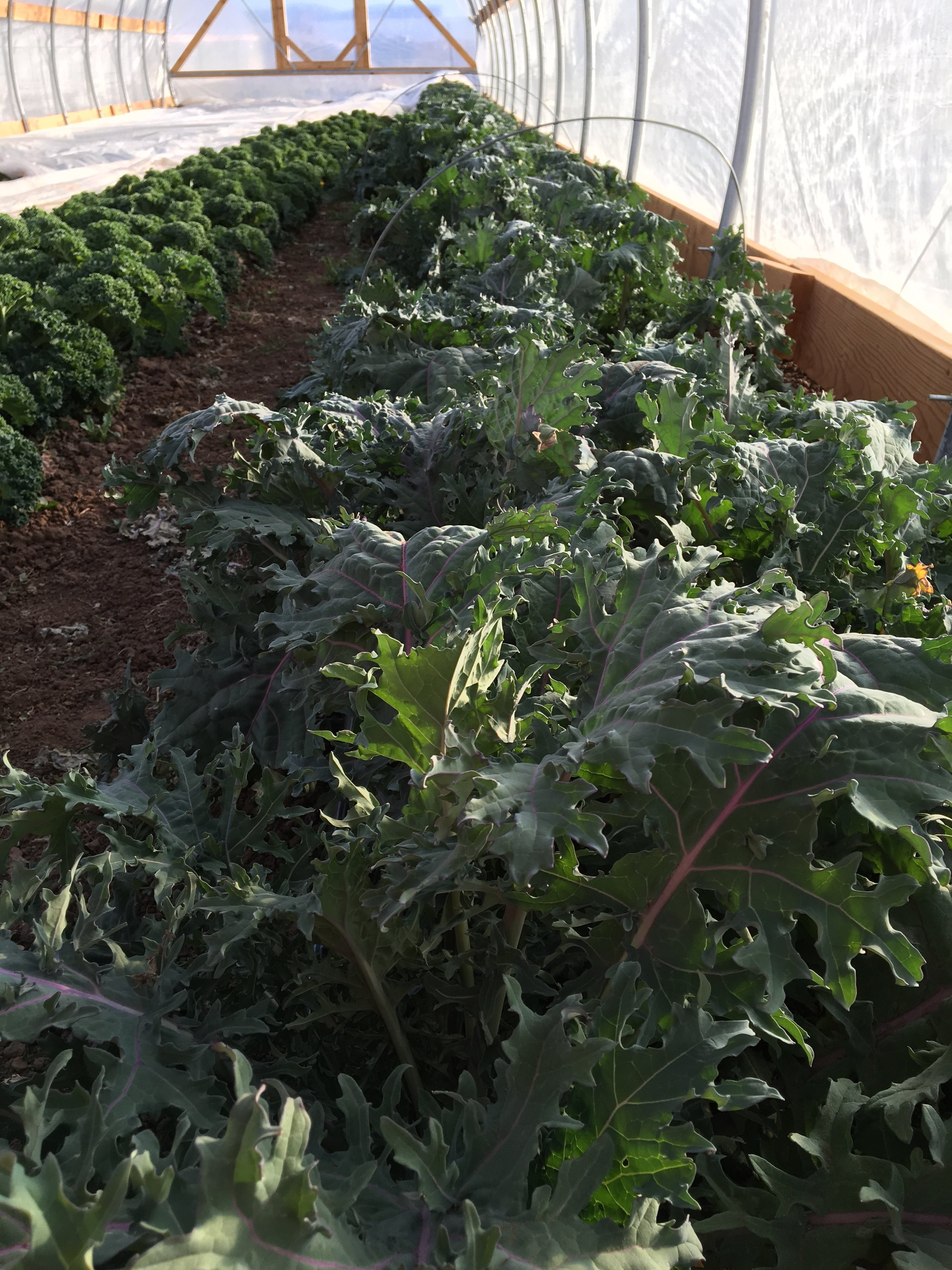 Kale growing in one of the moveable tunnel