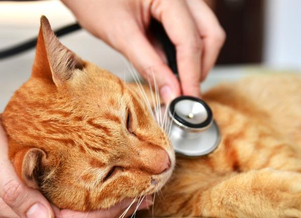 Hyperthyroidism Portland Veterinary Emergency And Specialty Care